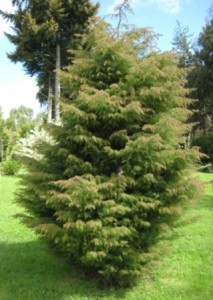Cryptomeria japonica oct2011 Chile