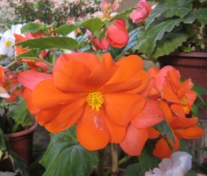 Begonia tuberosa hybrida