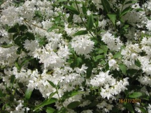 Deutzia gracilis flor