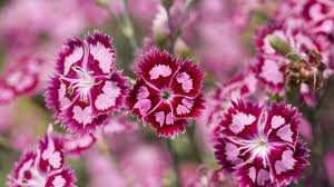 Clavelina Dianthus barbatus flor