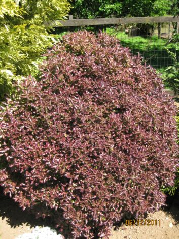 Pittosporum Tom Thump
